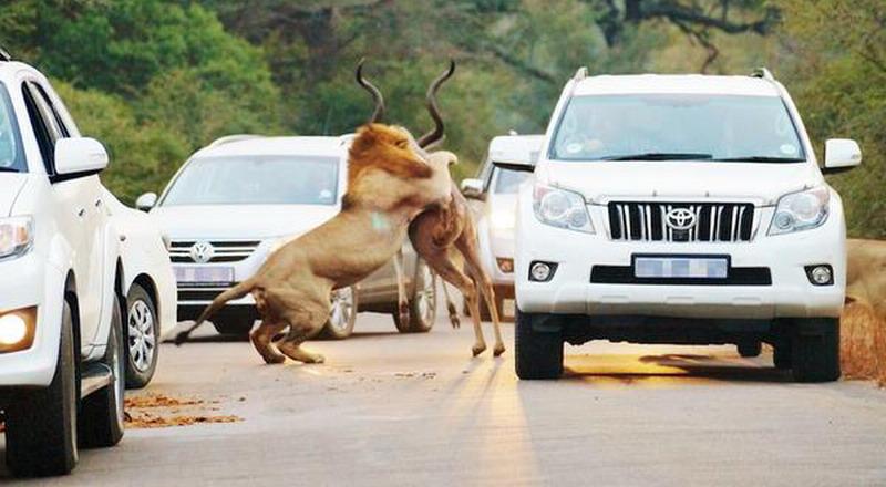 Turis di Afrika Disuguhi Pemandangan Singa Bunuh Mangsa