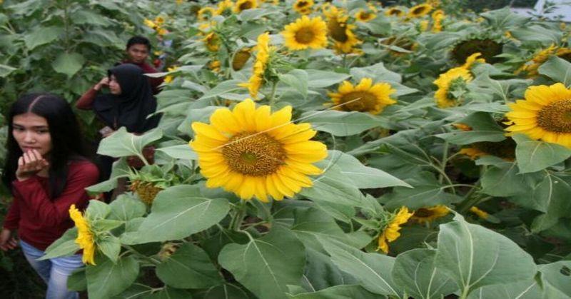 Kebun Bunga Matahari, Destinasi Wisata Baru di Kediri