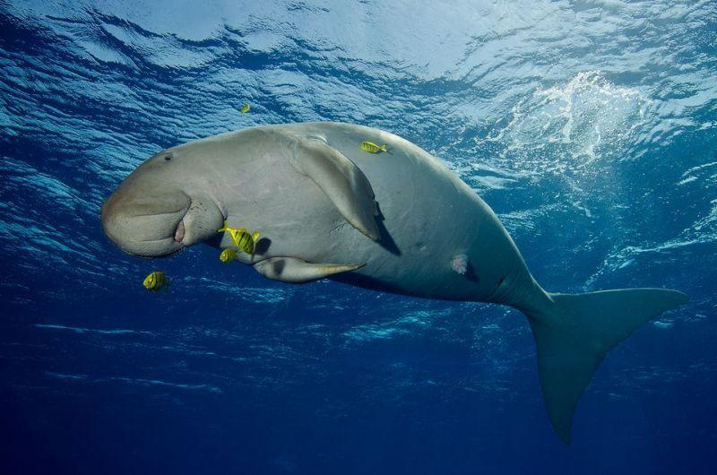 Gemasnya Melihat Ikan Dugong di Pulau Alor