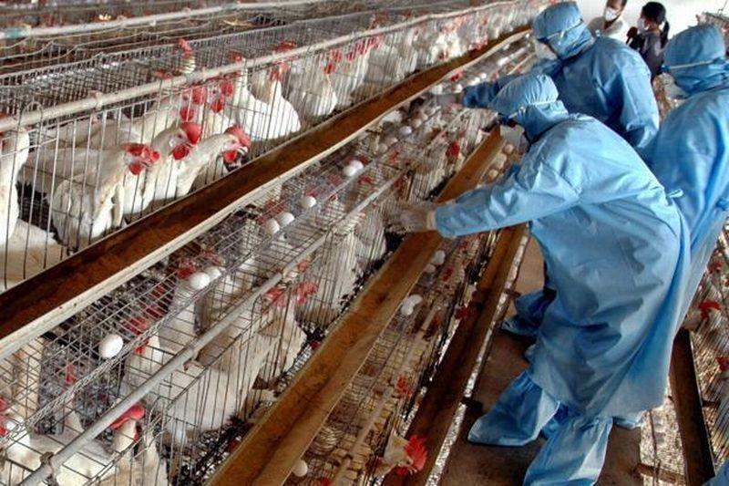 Siaga, WHO Peringatkan Dunia soal Virus Flu Burung