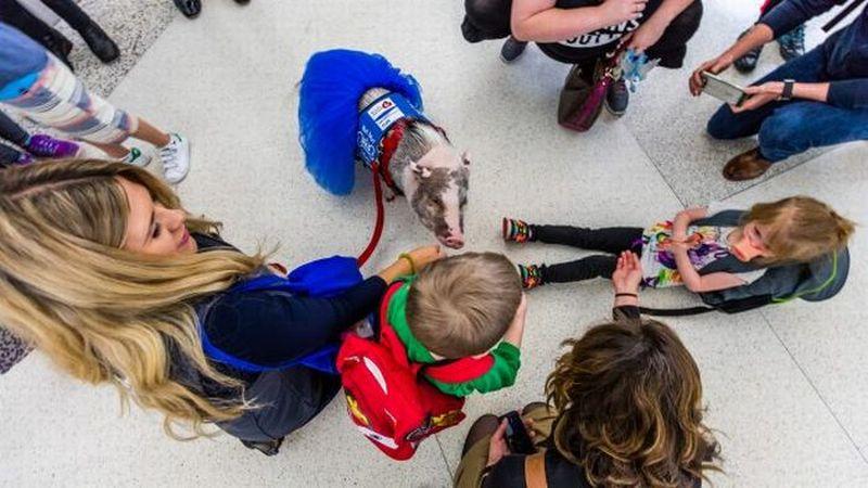 Wow...Babi Terapis di Bandara San Fransisco Jadi Favorit Pengunjung