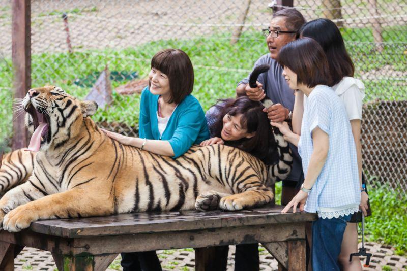Cara Mengatasi Serangan Harimau saat Berwisata ke Kebun Binatang
