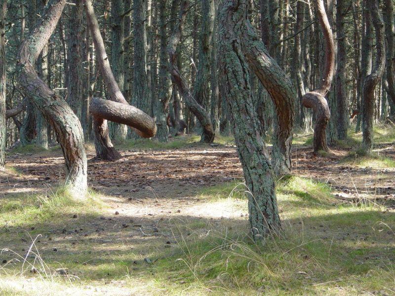 Hutan di Rusia Bisa Menari, Kok Bisa?