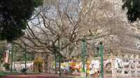 Pohon Keramat India Jadi Warisan Budaya Dunia