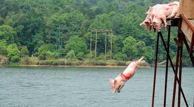 Aksi Babi Terbang Hibur Turis Tiongkok