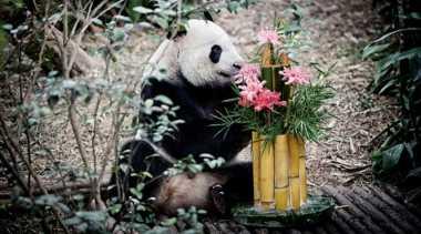 Di Singapura Ada Panda Raksasa