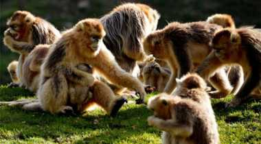 Ada Monyet Emas di Tiongkok
