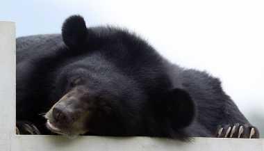 Beruang Liar Masuk Permukiman Penduduk