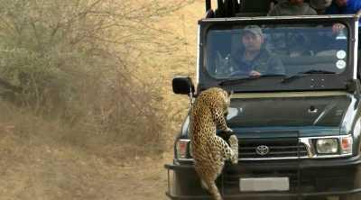 Detik-Detik Penyerangan Macan Tutul Terhadap Pemandu Wisata