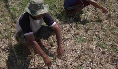 3,3 Juta Hektare Sawah Alami Kekeringan