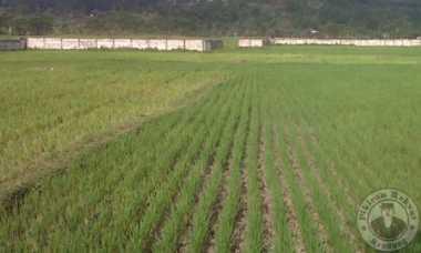 Ribuan Hektare Sawah di Banten Kekeringan