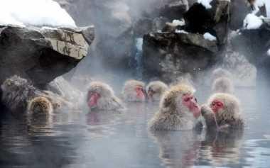 Serunya Lihat Monyet Salju Jepang Mandi Air Panas