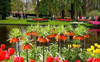 Tujuh Juta Bunga Tulip Hiasi Taman di Belanda