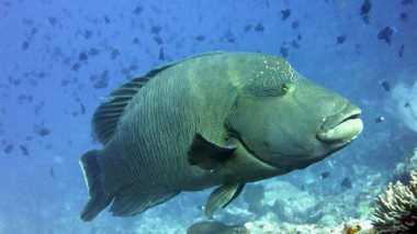 Anambas Terkenal Berkat Ikan Napoleon