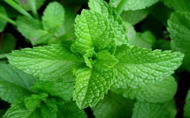 Berikut Tanaman Herbal untuk Bersihkan Paru-Paru
