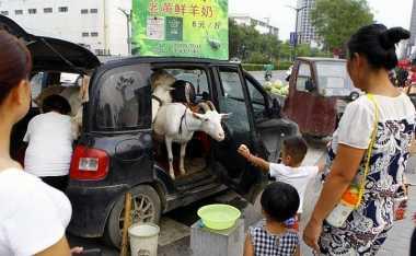 Cara Unik Pria China Jual Susu Kambing