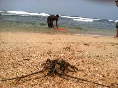 Gagal Diselundupkan, Petugas Lepas Lobster ke Pantai