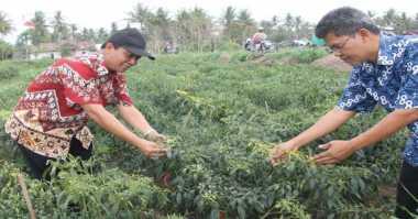 30 Hektar Lahan Cabai Di Kulonprogo Terserang Virus Kuning