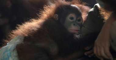 Kabut Asap Tak Kunjung Usai, 16 Bayi Orangutan Derita Ispa