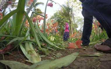 Diinjak Ribuan Pengunjung, Kebun Bunga Amarylis Rusak