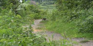 Ratusan Monyet Liar Serang Lahan Pertanian Warga di Sumenep
