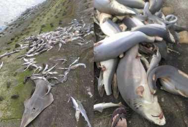 60 Hiu Berserakan di Pantai Taiwan