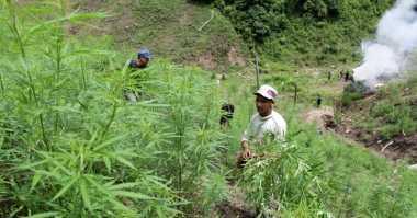 Polda Aceh Musnahkan 4,5 Hektare Ladang Ganja