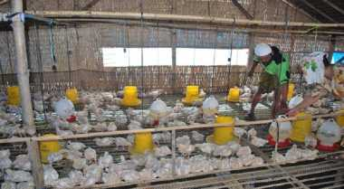 Peternakan Unggas di Blitar Krisis Vaksin Flu Burung