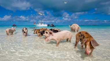 Pulau Ini Dipenuhi Jutaan Babi