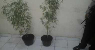 Tanam Ganja di Pot Bunga, Ibeng Ditangkap Polisi