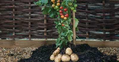Bukan Sulap Bukan Sihir, Tanaman Kentang Ini Berbuah Tomat!
