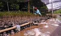 Migrasi Ubur-Ubur di Jatim Serang Bibit Bakau