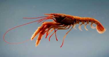 Bea Cukai Mataram Gagalkan Penyelundupan Ribuan Baby Lobster