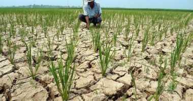 Ratusan Hektare Sawah di Kupang Dilanda Kekeringan