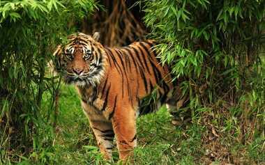 Harimau Sumatera Terjerat Perangkap Babi Milik Warga