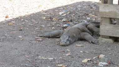 4 Pulau Dipenuhi Ribuan Komodo