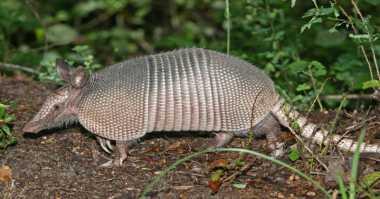 Tiga Spesies Endemik Bangka Terancam Punah