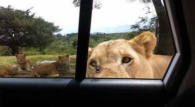 Di Kebun Binatang London, Travellers Bisa Dekat dengan Singa