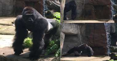 Serang Bocah, Seekor Gorila di AS Ditembak Mati