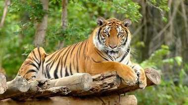 Terancam Punah, Bengkulu Butuh Pusat Rehabilitasi Harimau Sumatera
