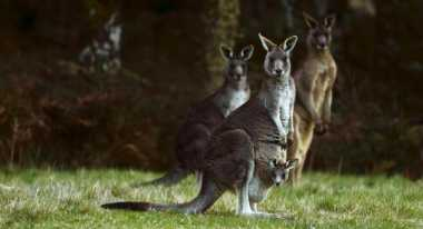 Payudara Implan Selamatkan Sharon dari Tendangan Kanguru
