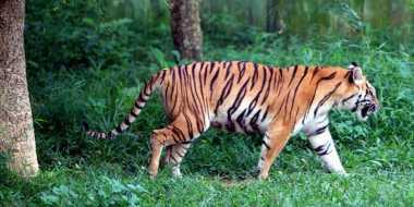 Harimau Masuk Kampung Membuat Warga Ketakutan