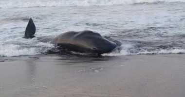Ikan Paus yang Terdampar di Pantai Pamayangsari Dihalau ke Samudera Hindia