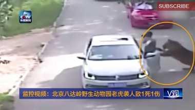 Keluar dari Mobil, Wisatawan Tiongkok Ini Diterkam Harimau