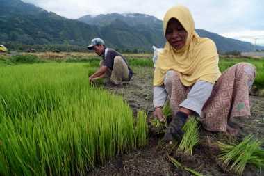 La Nina Untungkan Petani Tadah Hujan di Prambanan