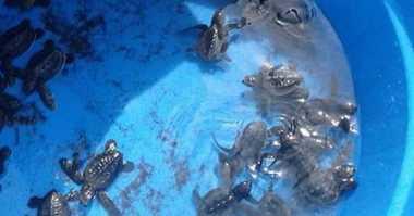 Nelayan Pantai Penimbangan Selamatkan Puluhan Ekor Tukik