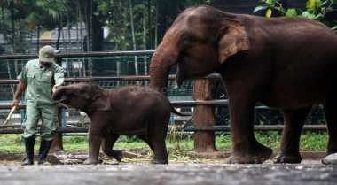 Gangguan Gajah Liar di Aceh Kian Meluas