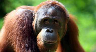 Orangutan Marak Diselundupkan, Dibanderol hingga Ratusan Juta