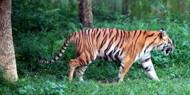 Global Tiger Day, Aktivis Lingkungan Ajak Buru Pemburu di Aceh
