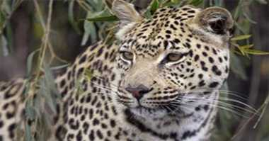 Penampakan Anak Macan Tutul dalam Kamera di Taman Nasional Semeru